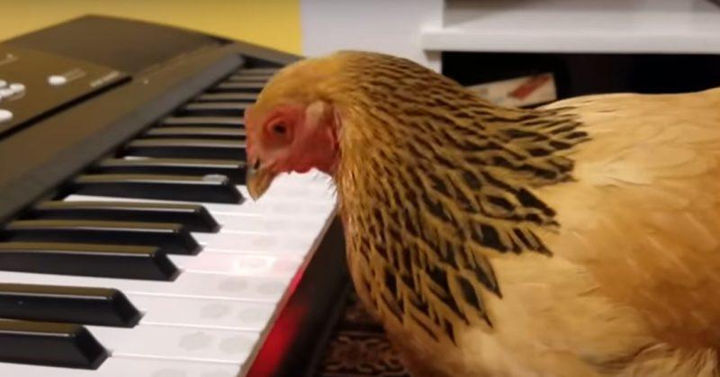chicken plays music