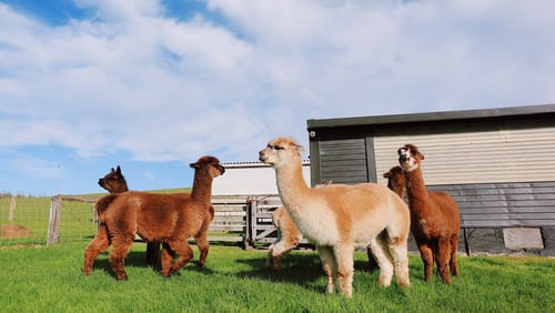 Llamas And Alpacas, What Makes Them So Similar But So Different At The Same Time?