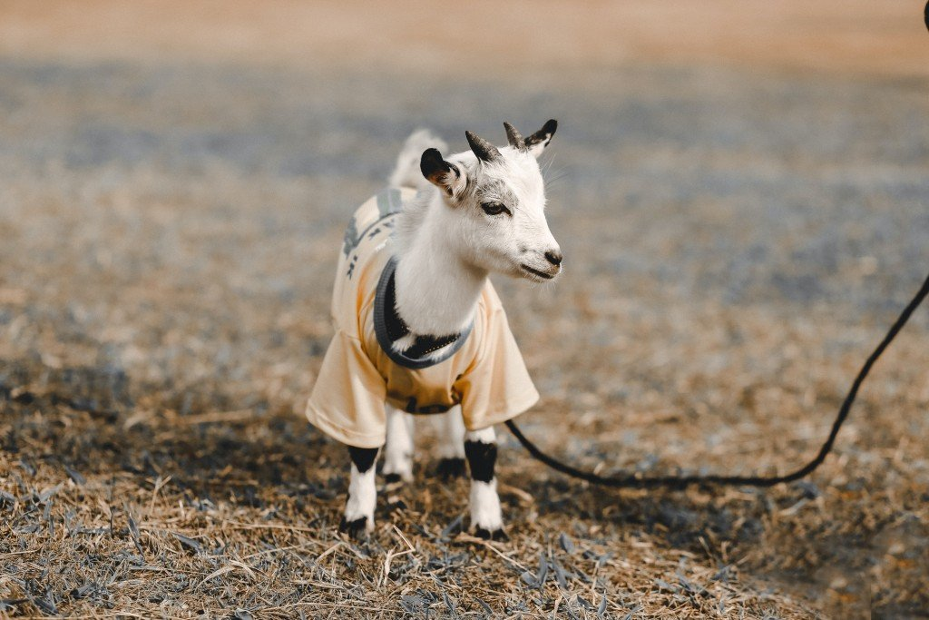 This Little Goat Will Remind You Of Your Sibling
