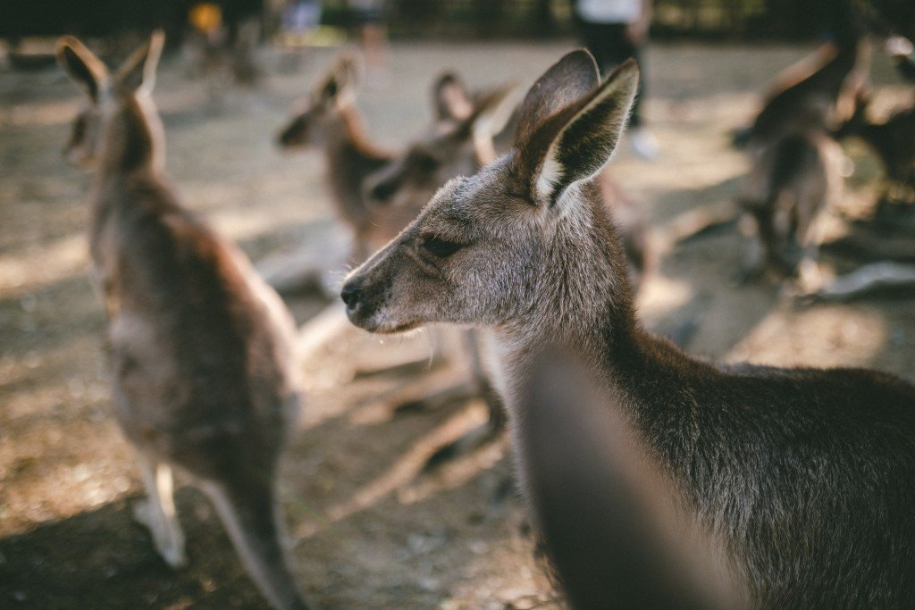 Are Kangaroos Our Next Best Friends? » Yodoozy®