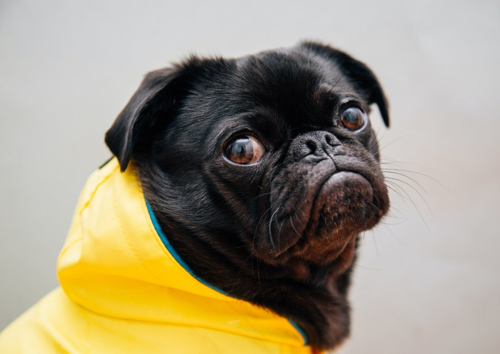 Pugs Screaming As Authentical Drama Queens, The Copilation You Were Waiting For!