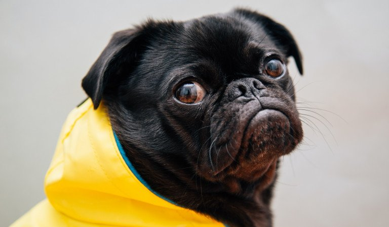These Pugs Being Drama Queens Is The Compilation You Have Been Waiting For!