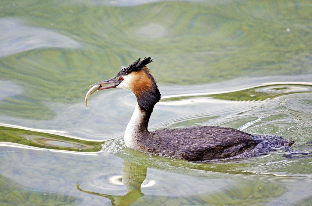 Hooded Grebes' Courtship Dance Is The Most Wholesome Thing On The Internet Today!