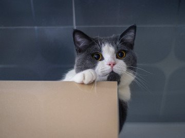 grey and white cat near a brown board