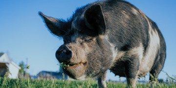 black pig on green grass field